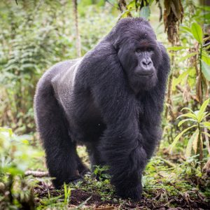 The Mountain Gorillas of Africa