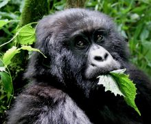Gorilla Trekking in Uganda and Rwanda