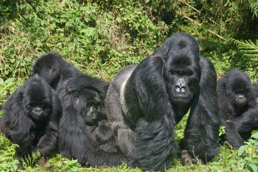 Rwanda and Uganda Gorilla Safari
