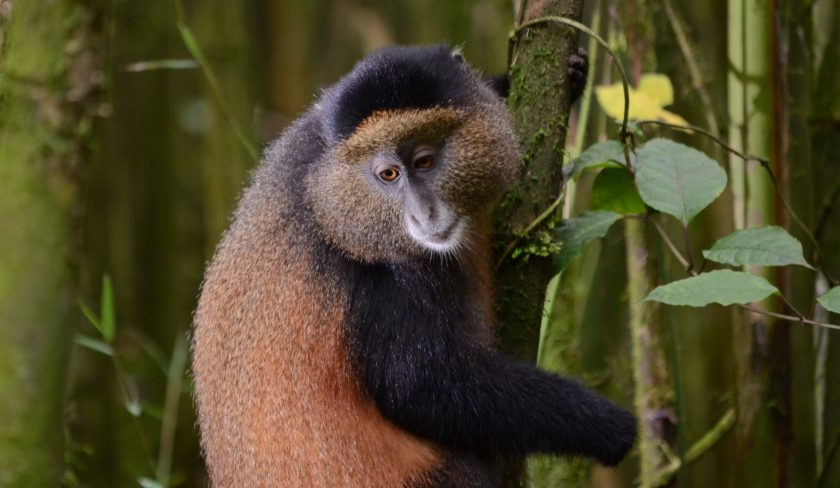 Rwanda Gorillas & Golden Monkeys Tour